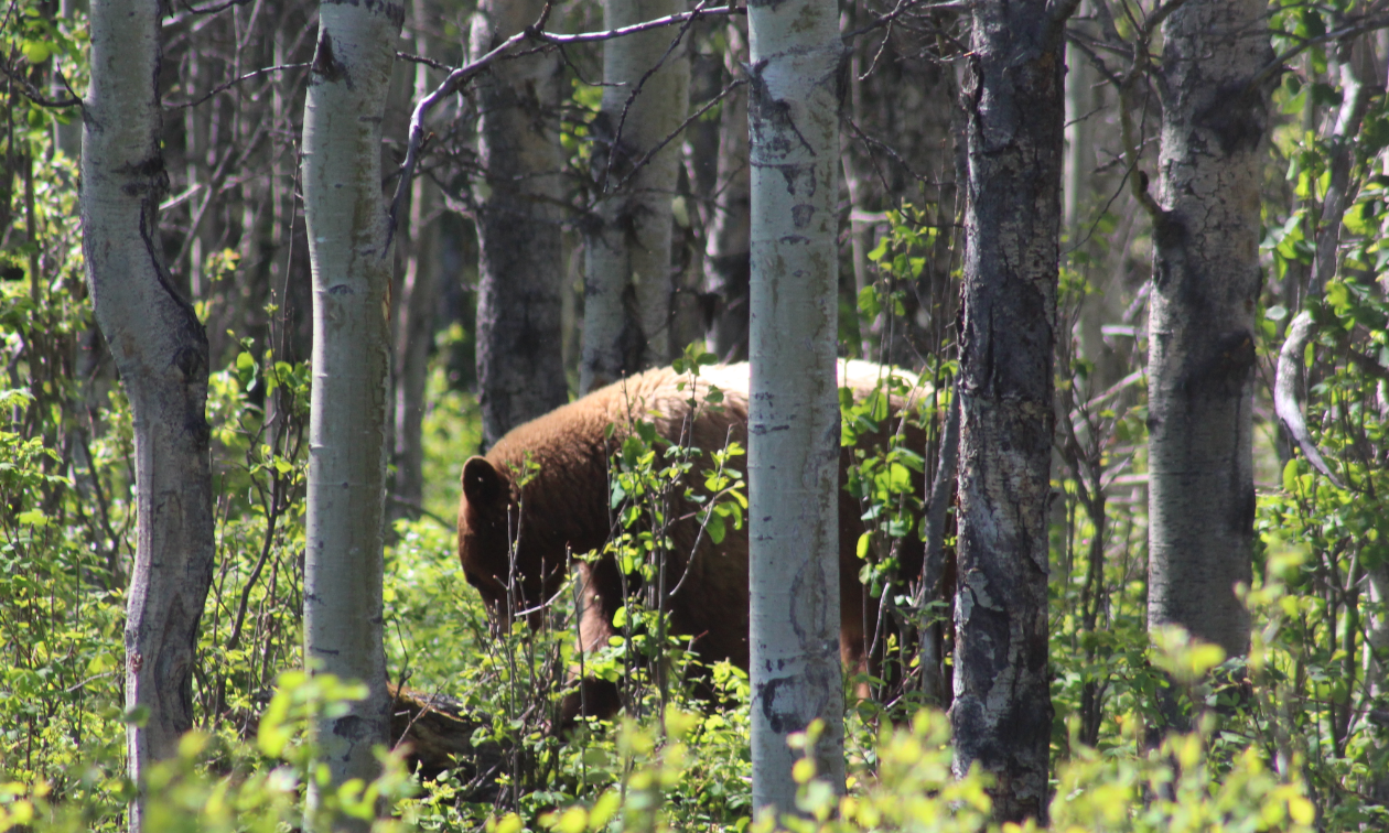 A brown bear is seen through trees and green vegetation in the woods.