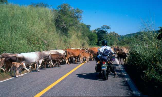 Jeremy Kroeker waits for cows to cross the road in Mexico.