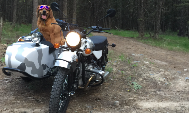 Dergousoff's red bone hound Wilma sits in the 2017 Ural Gearup in the woods