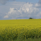 Photo of a yellow canola field.