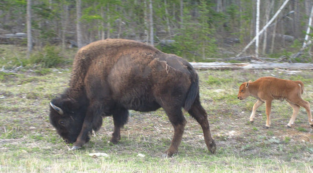 A cow bison and her calf in the Mackenzie Herd.