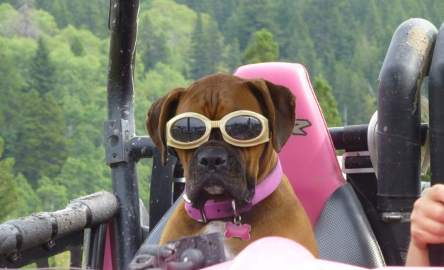 Here is our boxer Brooklyn, enjoying the crowsnest pass/castle area in the RZR 800!