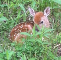 A fawn hiding  laying down hidden in the grass.