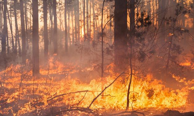Fire burning through pine trees.